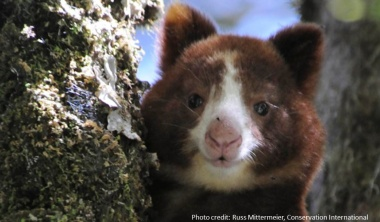 Protecting tree kangaroos